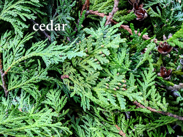 Cedar--Herbs for Respiratory Health