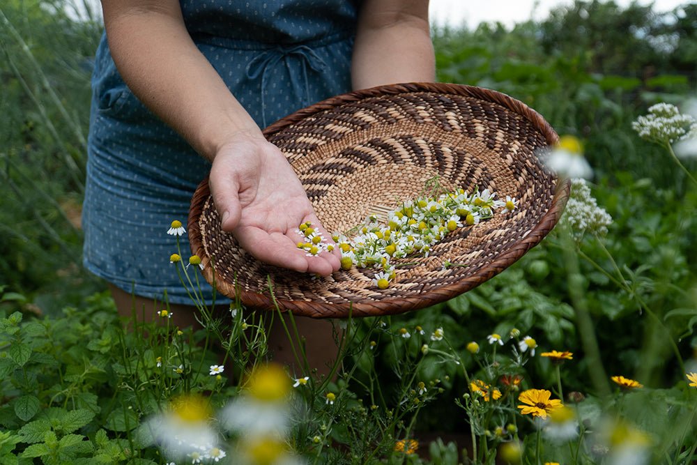 chamomile-collecting