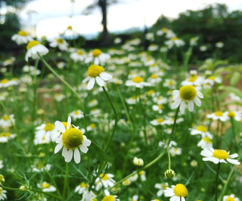 Chamomile Favorite Uses