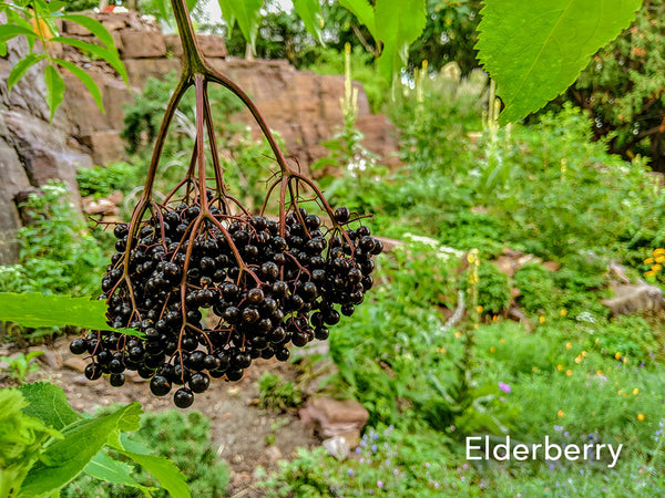 Guido Elderberry