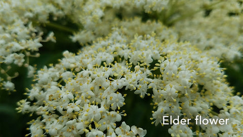 Guido Elder Flower