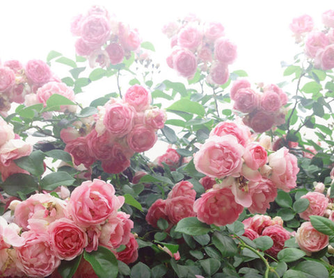 Five Natural Beauty Rituals For Summer Radiance: Roses