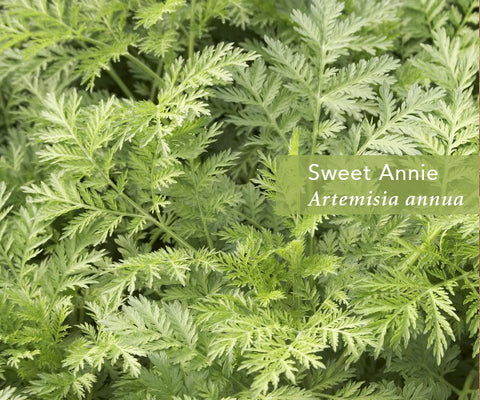 Artemisia From Malaria to Cancer