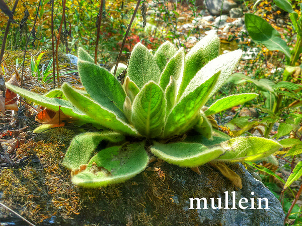 Mullein--Herbs for Respiratory Support