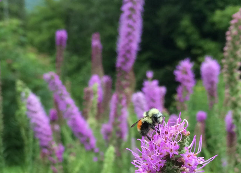 Landscaping With Native Perennials: Support Wildlife ... on native plant garden, native wildflower garden, native perennial garden, native bee habitat,