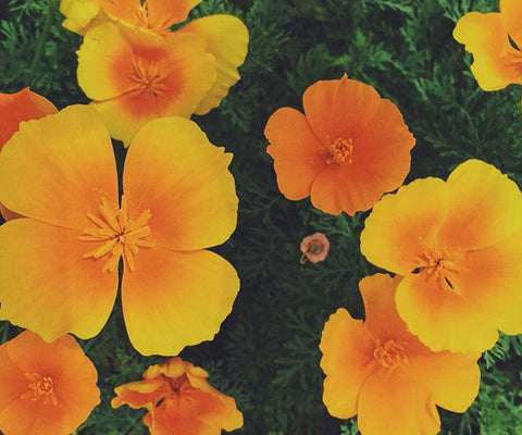 California Poppy and The Importance of Rest