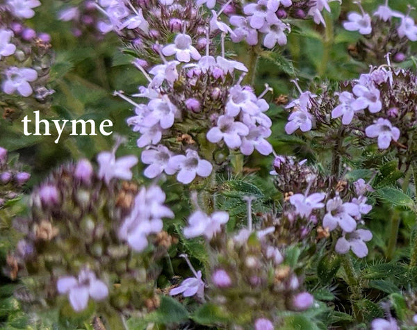 thyme--Herbs for Respiratory Health