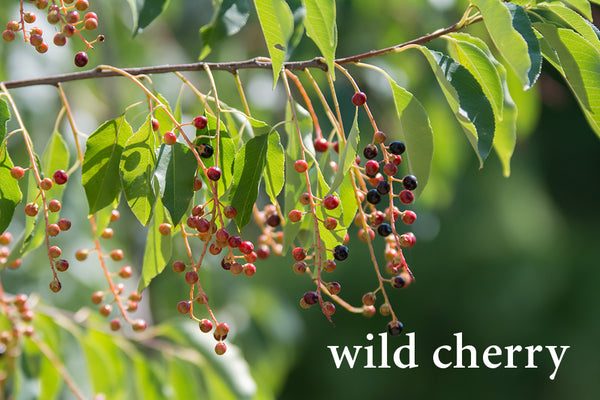 Wild Cherry--Herbs for Respiratory Health