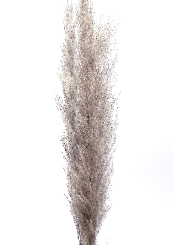 Grey Pampas Grass - Plants - Black Rooster Maison