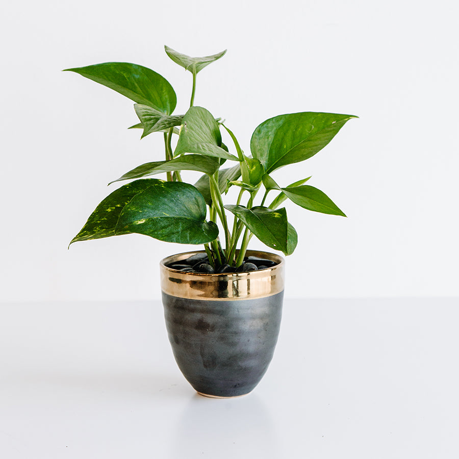 Pothos in Gold Rimmed Pot - Plants - Black Rooster Maison