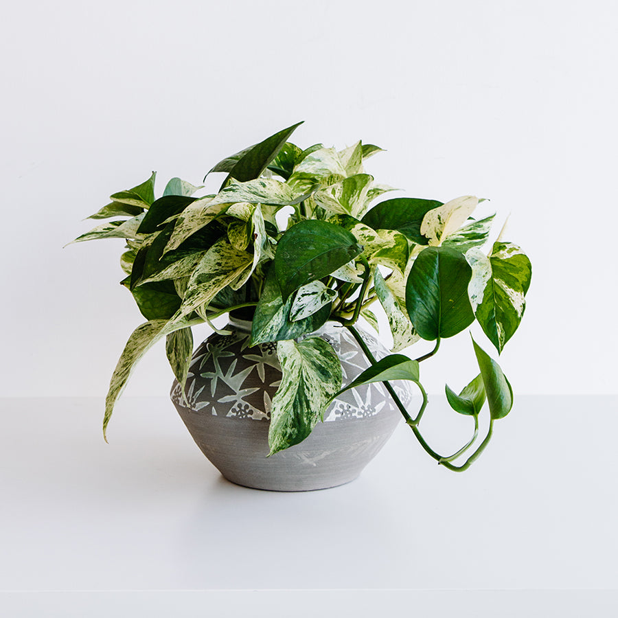 Pothos in Pétale Terracotta Pot - Plants - Black Rooster Maison