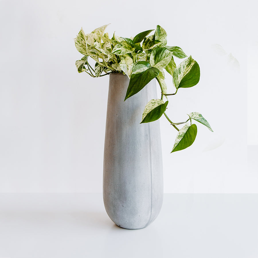 Pothos in Cement Vase - Plants - Black Rooster Maison