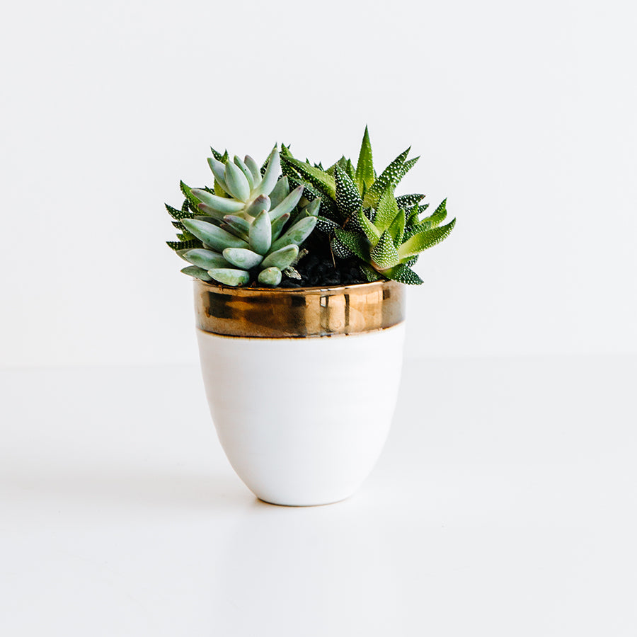 Succulent in Bronze Rimmed Pot - Plants - Black Rooster Maison