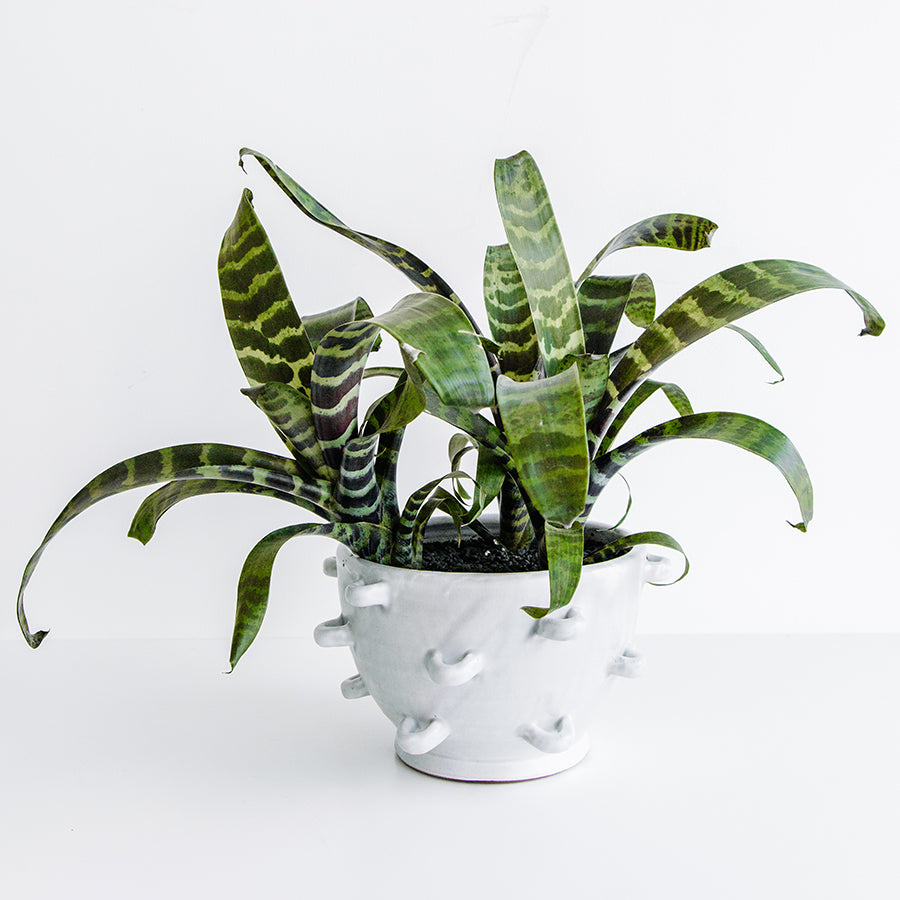 Bromeliads in Looped Pot - Plants - Black Rooster Maison