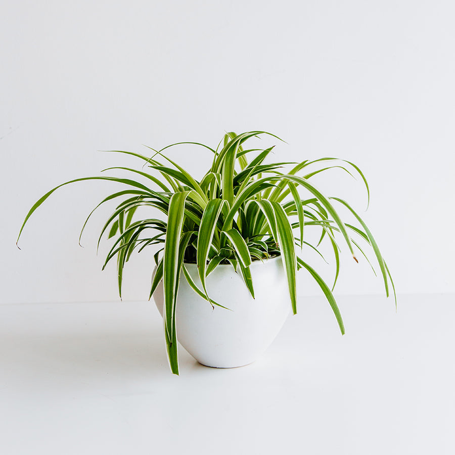 Spider Plant in Rosie Pot - Plants - Black Rooster Maison