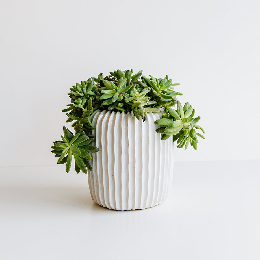 Succulent in Ridged Pot - Plants - Black Rooster Maison