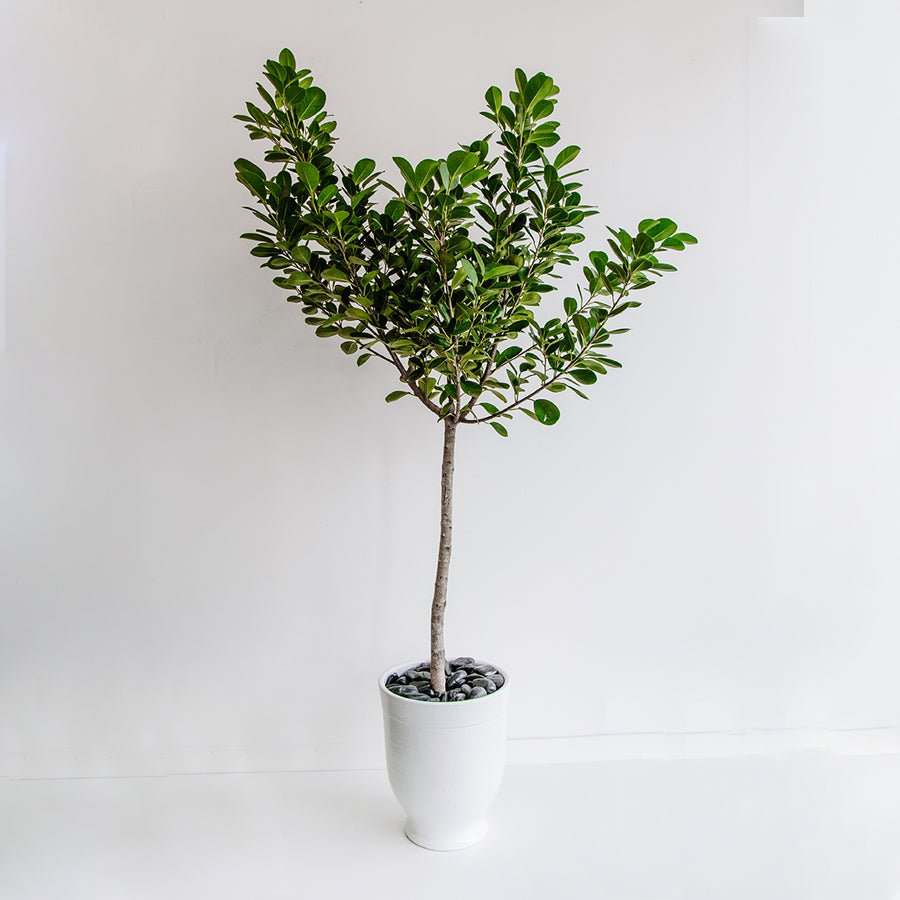 Ficus in Daria Pot - Plants - Black Rooster Maison