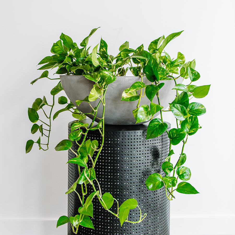 Pothos in Bowed Pot - Plants - Black Rooster Maison