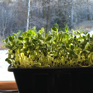 Let's Make Micro Greens!