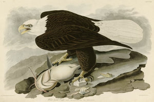 Audubon's Animals Prints