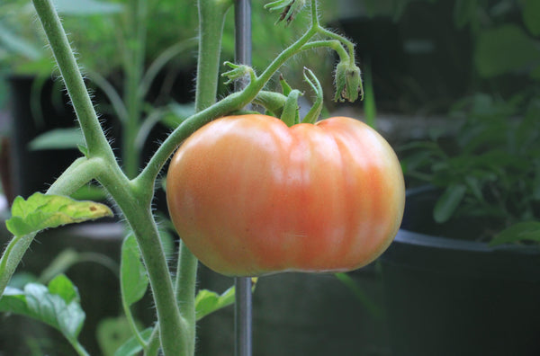 How to Grow Tomatoes Without a Garden