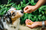 Australian Sheppard Dog being fed a single Insecticide Free Almond from palm full of raw almonds.