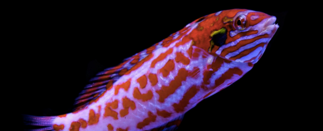 How to pt. 2 - Success with Leopard Wrasses