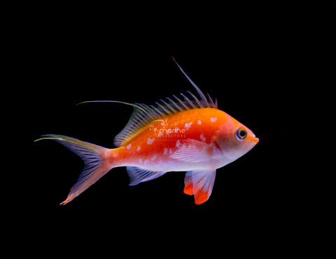 Cherry Anthias