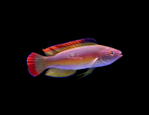 Red Margin Fairy Wrasse