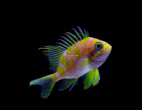 Borbonias Anthias