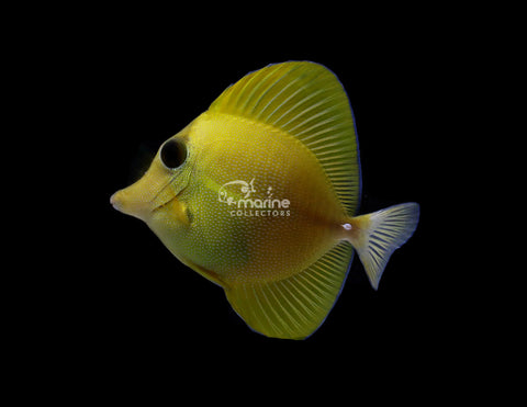 Yellow/ Scopas Hybrid