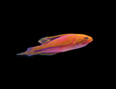 Pin Tail Fairy Wrasses