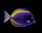 Powder Blue Tang Hybrid