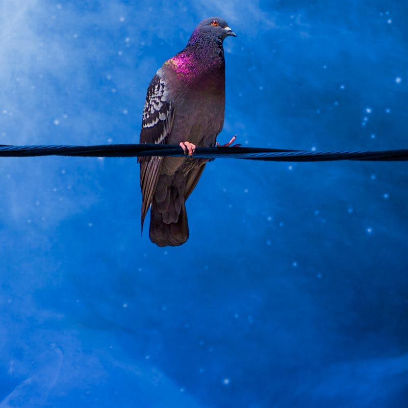Pigeon at night