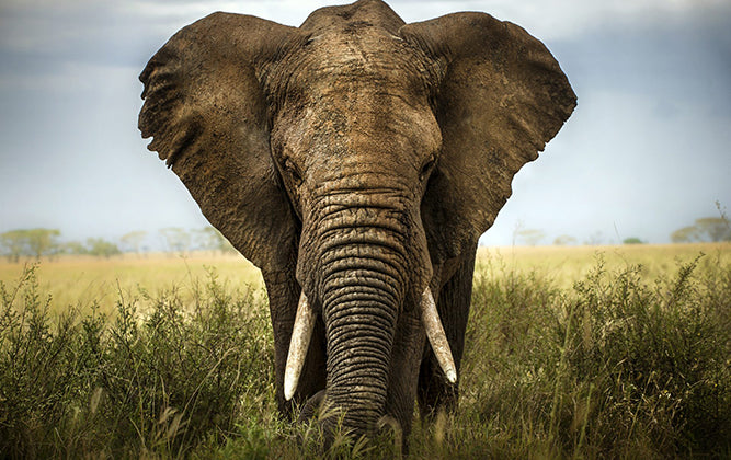 12 Fun Facts about Elephants