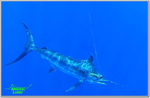 Amaral Lures Anaconda Brazil Blue Marlin Offshore Fishing Trolling Sportfishing