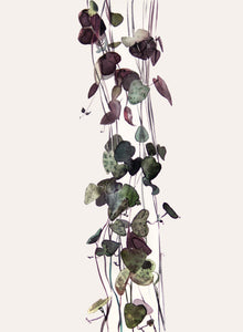 Ceropegia Woodi - String of Hearts Watercolour Print