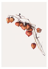 Physalis Watercolour Print