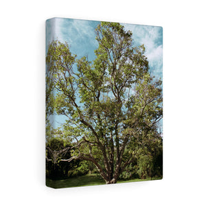 Ballard Tree Canvas Gallery Wrap