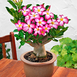 How to grow Desert Rose Succulent Bonsai from Seeds