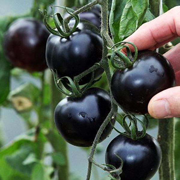 How to grow Black Pearl Tomatoes from Seeds