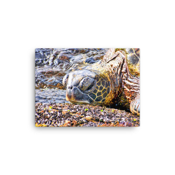 Honu Turtle in Kohala Tide Pools (Giclée Canvas wrap style print) Size: 12x16 - Shella Island Products,, Canvas Prints - Yoga Leggings, Shella Island Products - Asana Hawaii