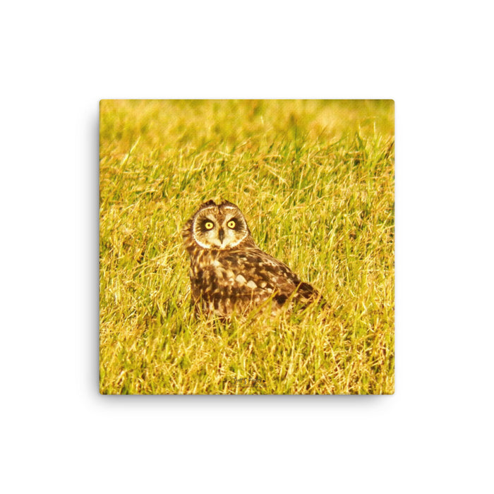Pueo Hawai'ian Owl in the Waimea Ranch Lands Photo Giclée Canvas Print- Size: 12x12