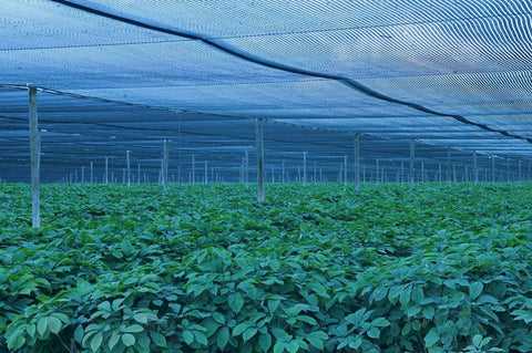 canadian ginseng farm