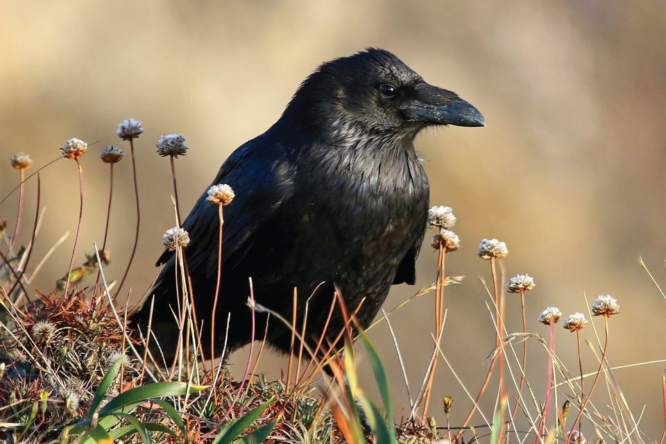 Raven Definition and Facts