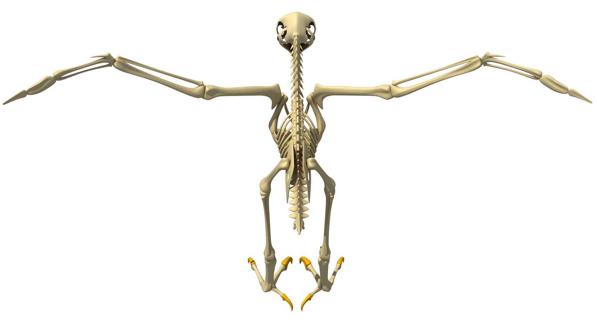Bald Eagle Skeleton