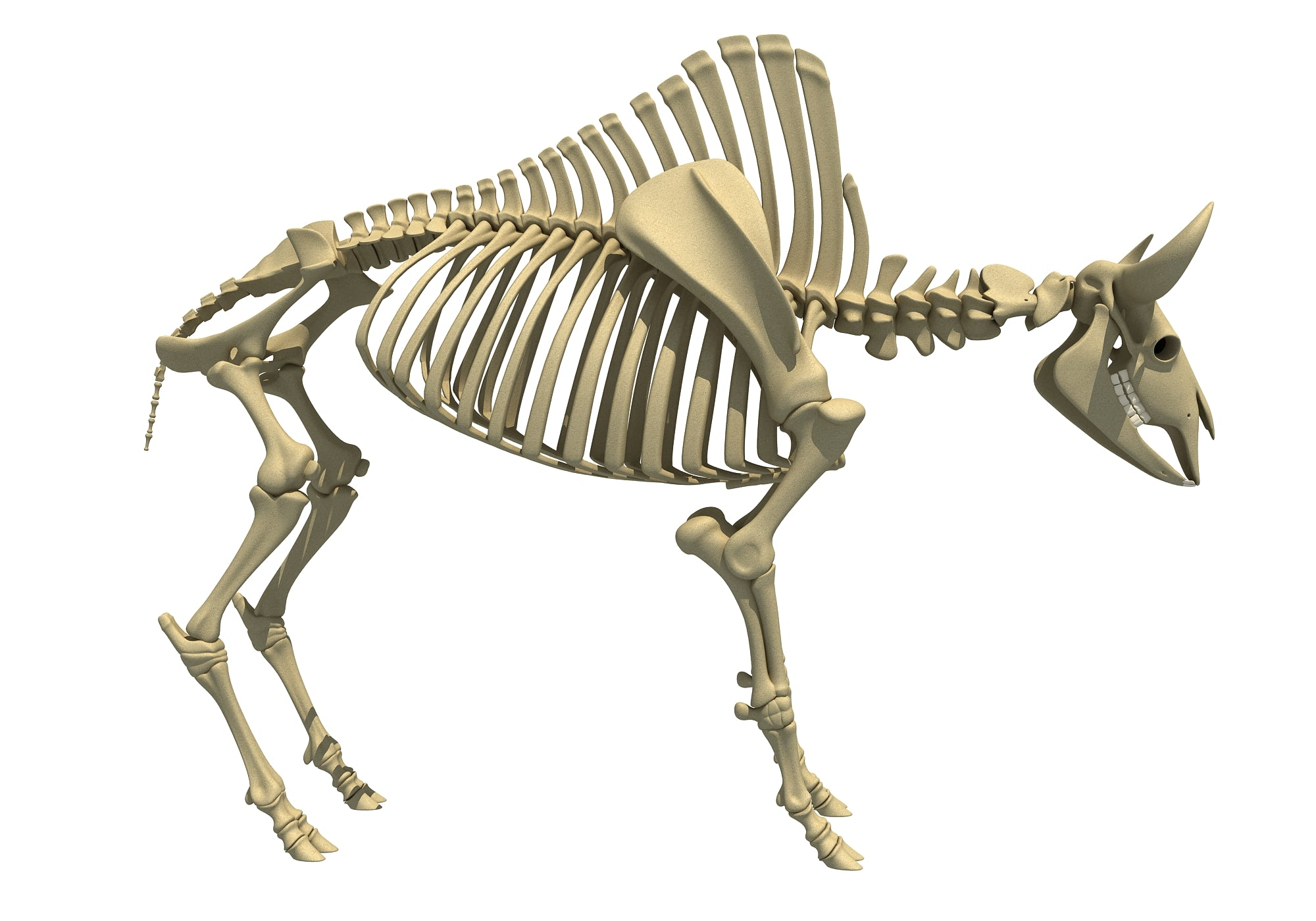 Bison Skeleton Animal Skeletons