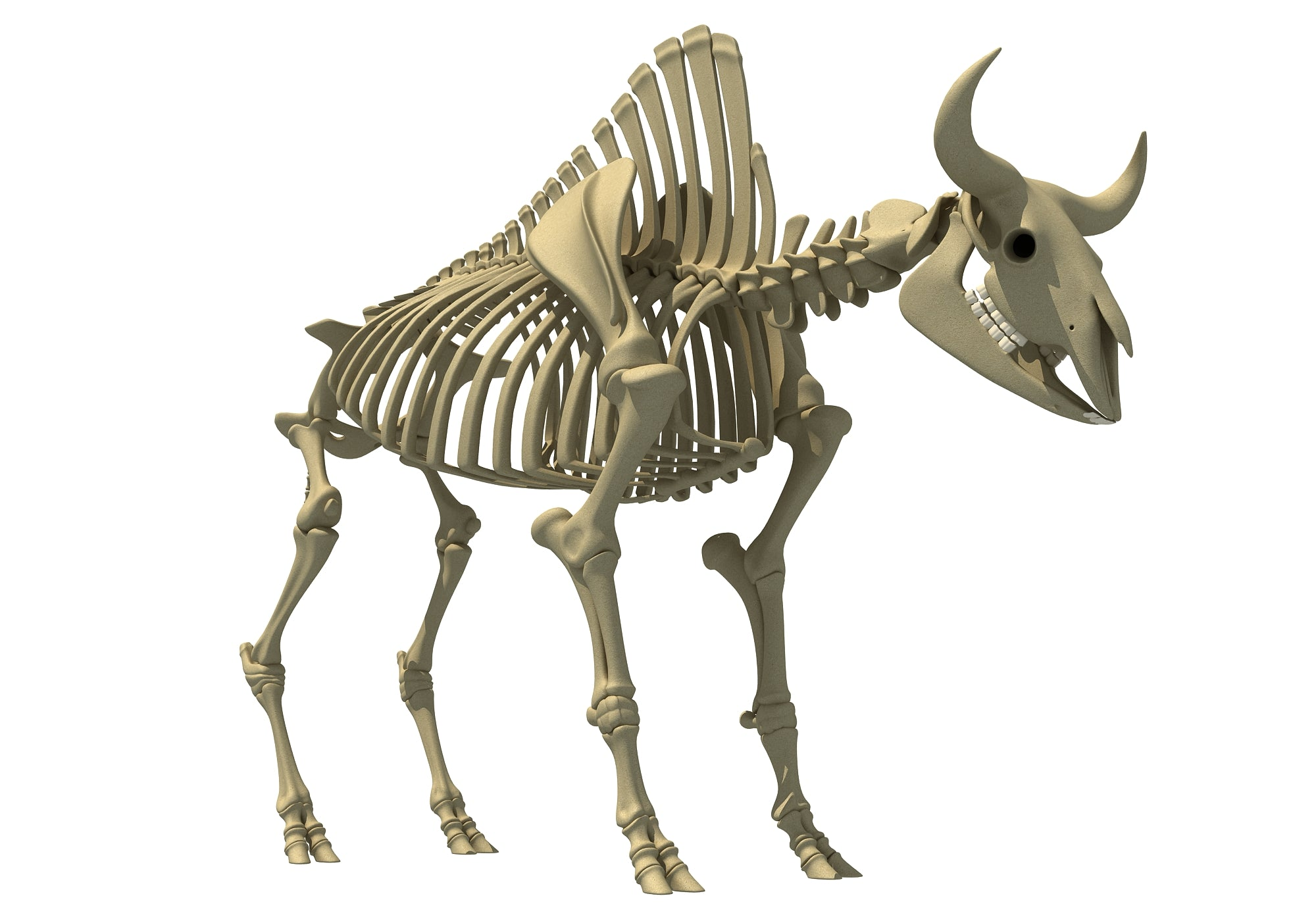 Bison Skeleton