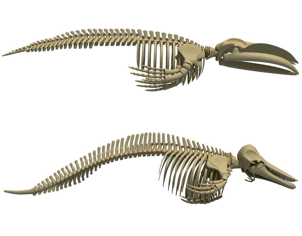 Blue Whale Skeleton - Dolphin Skeleton