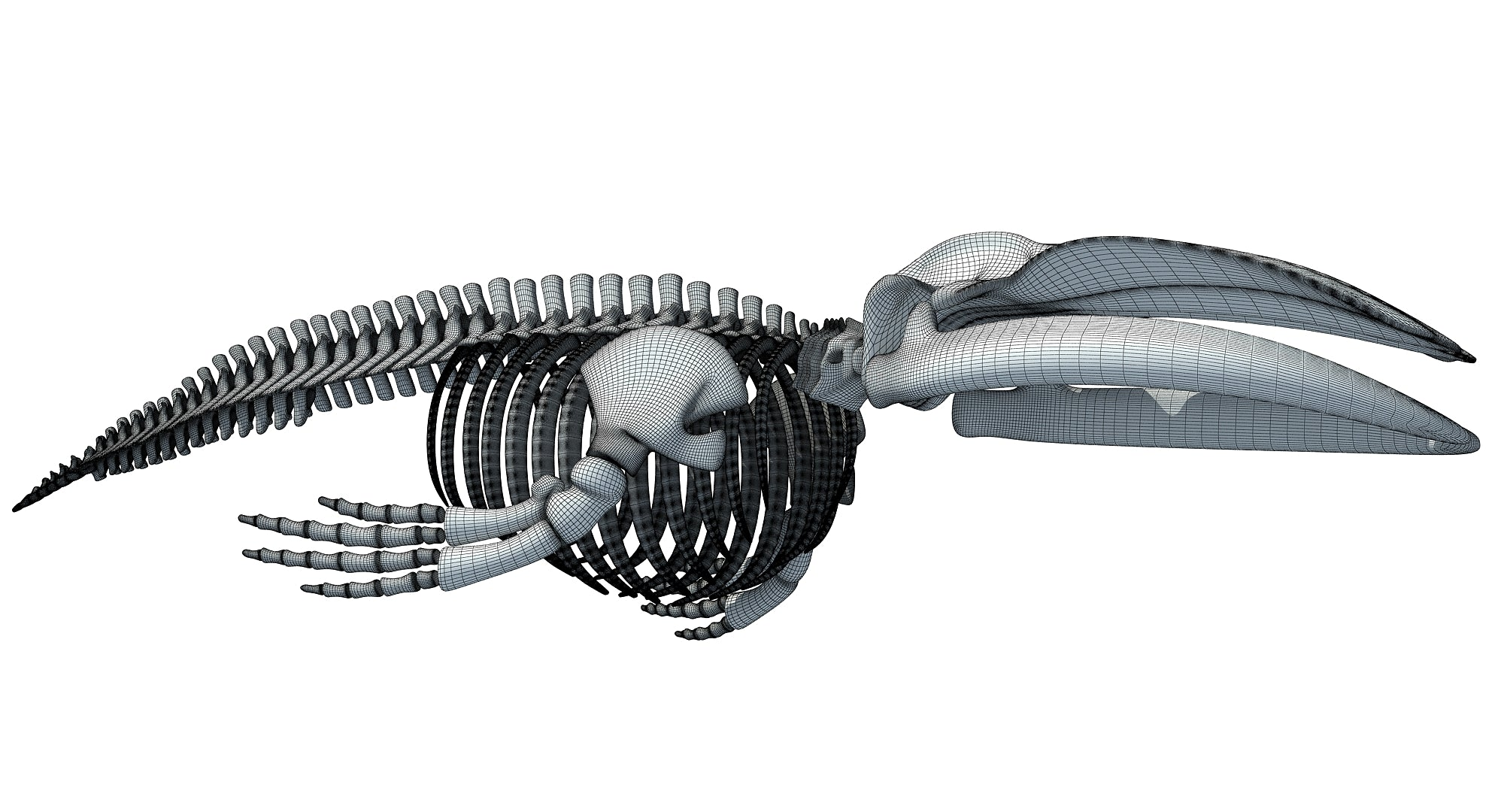 Blue Whale Skeleton 3D Model